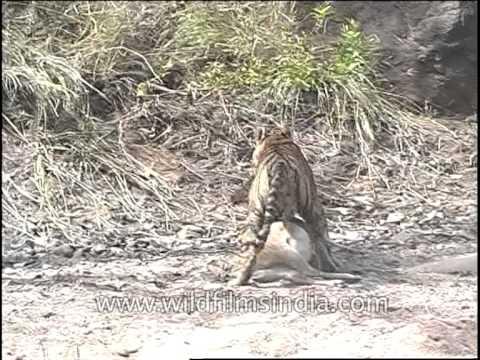 Tiger cub eating baby deer