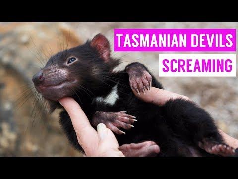 tassie devil dash