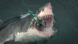 Air Jaws: balade avec les grands requins blancs