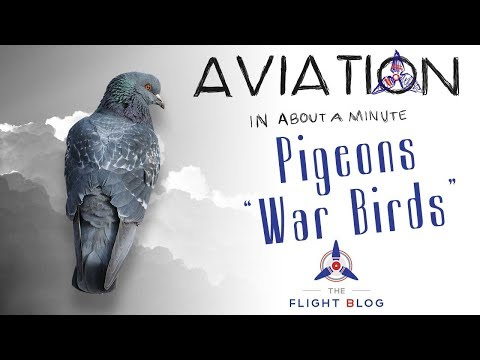 Aviation in about a minute pigeons war birds video