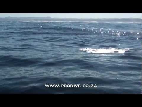 Sardine Run South Africa Update 28th May 2012