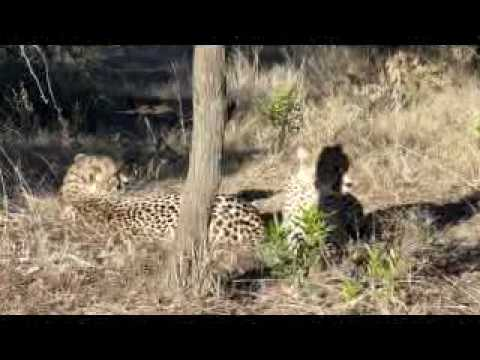 15. Amakhosi: Second Drive – Cheetahs