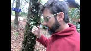 Growing Shiitake mushrooms in living stumps?