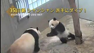 ☆ Cute Panda ☆ #25 【衝撃】 シャンシャン ママに派手なダイブ!