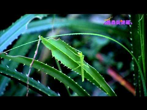 《昆蟲捉迷藏》枝葉間的偽裝高手【行動樹枝:竹節蟲】 - YouTube