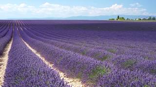doTERRA® Lavender Oil Uses and Benefits
