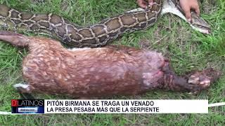 Una serpiente se tragó un venado de mayor peso en el condado Collier