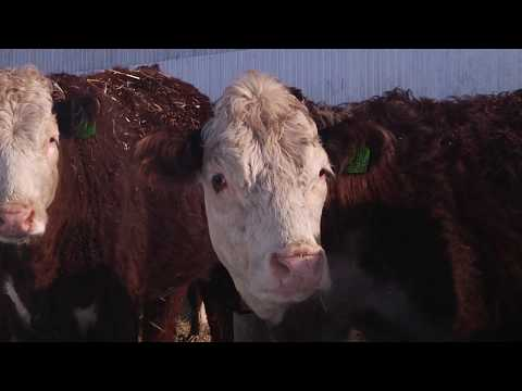 Представители 13 районов приняли участие в семинар-совещании по развитию мясного скотоводства в РБ