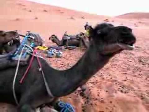 Dromedary chewing, Erg Chebbi, Morocco