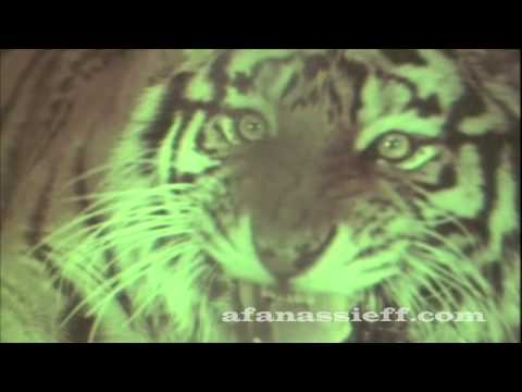 Live Tiger Hunting in Nepal, Rare Footage