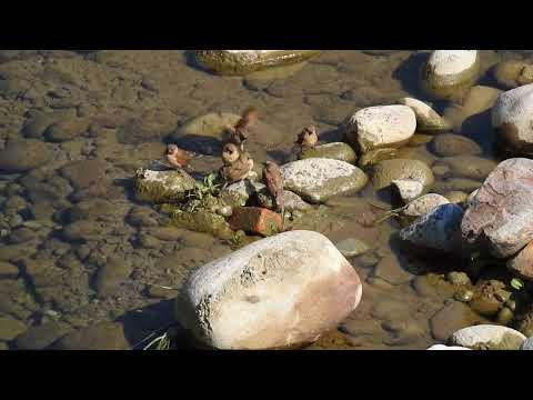 斑文鳥洗澡 大坑