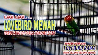 SUARA BURUNG : WEW ! Lovebird Jinak NGEKEK PANJANG 1 Menit Up :D width=