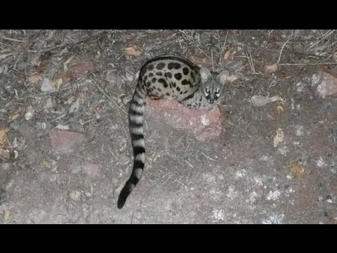 SOUTH AFRICA Mapungubwe nat. park civet & klipspringer (hd-video)