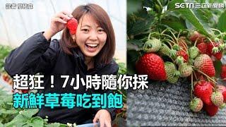 超狂!7小時隨你採 新鮮草莓吃到飽|三立新聞網SETN.com