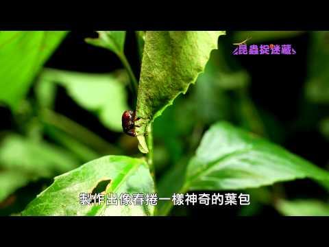 《昆蟲捉迷藏》巧奪天工的偉大母親【 摺紙藝術師:捲葉象鼻蟲 】 - YouTube