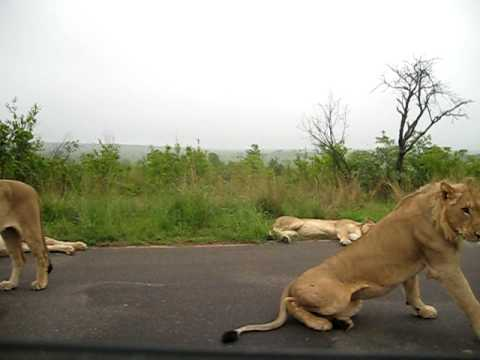 South Africa Kruger Park – couple of lions laying on the main road slowly standing up OMG