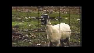 Screaming Goats - Billy Idol Mony Mony Cover