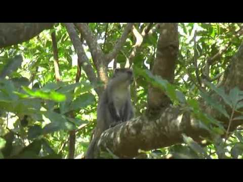 Endangered Samango Monkeys at Cape Vidal