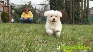 Bichon maltes  cachorro  puppy maltezer
