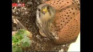 Casal de falcões fez ninho na floreira de um hotel em Albufeira - SIC Notícias 06-05-2012.mp4