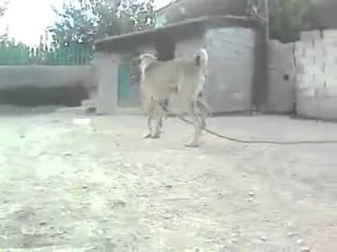 Aggressive Turkish Kangal Dog   YouTube