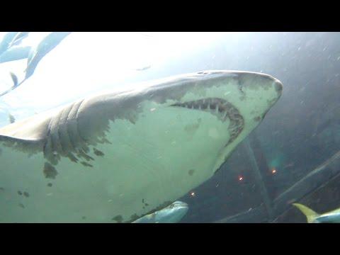 Shark Tank Dive at Two Oceans Aquarium [HD]