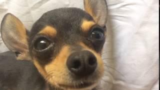Presentamos a Mi Perro llamado Chivy