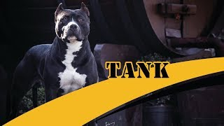 Tank of Piffer - Padreador Black Nose do Piffer Pit Bull