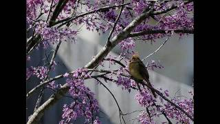 Mark Knopfler - Redbud Tree