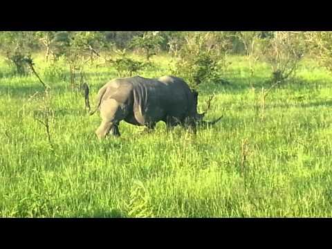Africa Kosher Safaris – rhino poaching