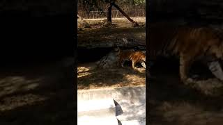 BENGAL TIGER at Delhi Zoo making amazing sounds