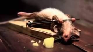 Rei dos ratos