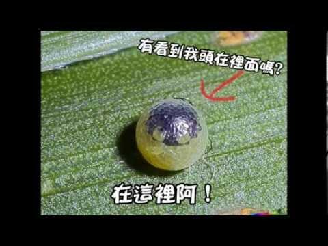 蝴蝶的成長歷程 藍紋鉅眼蝶 配音 - YouTube
