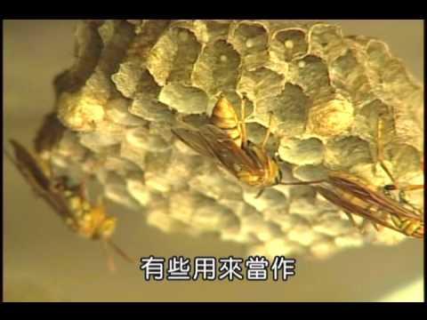 國小_自然_補充─各式各樣昆蟲的巢【翰林出版_四下_第二單元 昆蟲王國】 - YouTube