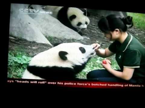 TV Highlight on Chengdu Panda Project