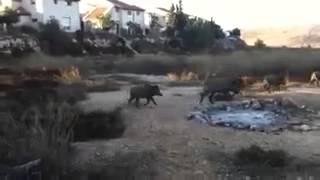 חזירי בר בגן הגלידות
