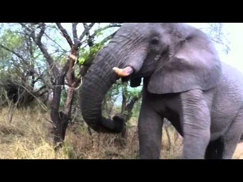 ELEPHANT ROAD RAGE