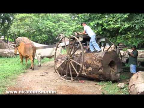 Buey hauling wood