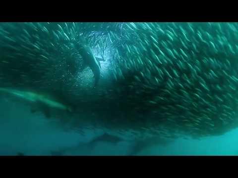 Sardine Run 2010 HD