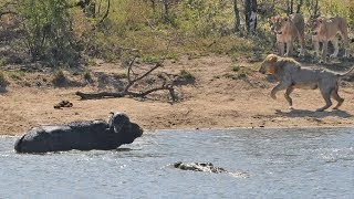 This buffalo survives a lion and crocodile attack