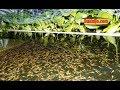 Cara Pemijahan Ikan Gabus Di Kolam Terpal Secara Alami