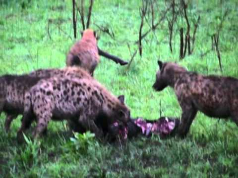 Death in the morning (hyenas & lions)