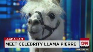'Meet my friend Pierre, he is a celebrity llama'