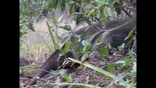 Giant Anteater emerging from cover