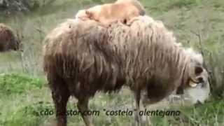 Cão pastor com costela alentejana