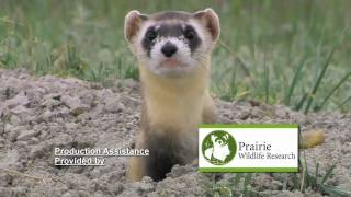 Black-footed Ferret vs. Prairie Dog
