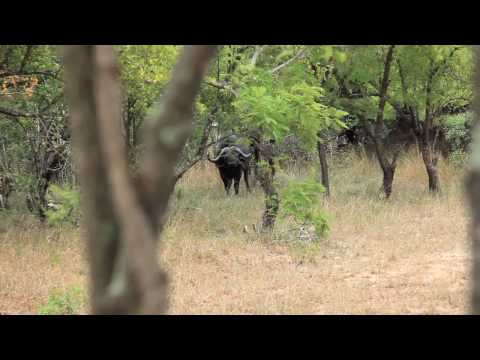 South African Water Buffalo – Kruger National Park