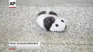 Cute panda cube trying to turn over