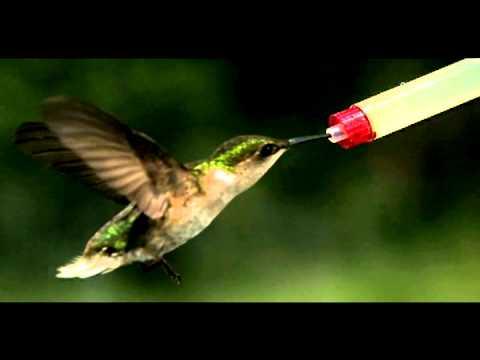 thrice-as-the-crow-flies-hummingbird-slowmotion-alan-araujo