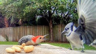 Blue Jays Versus Woodpecker